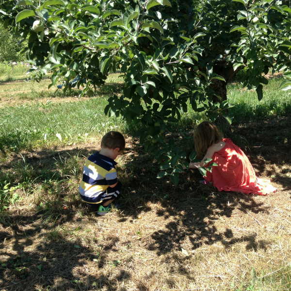 Children picking up fallen apples in summer orchard