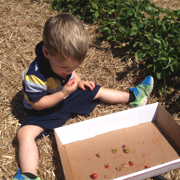 Little boy with berry box at Pietree orchard
