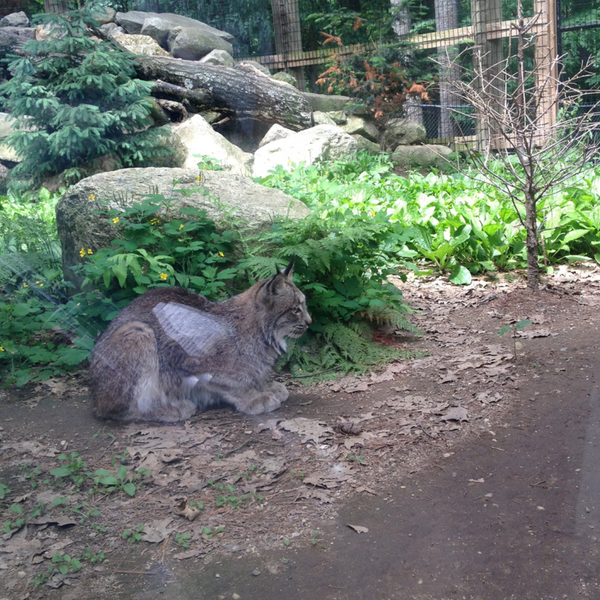 Captive lynx in exhibit at Maine Wildlife Park
