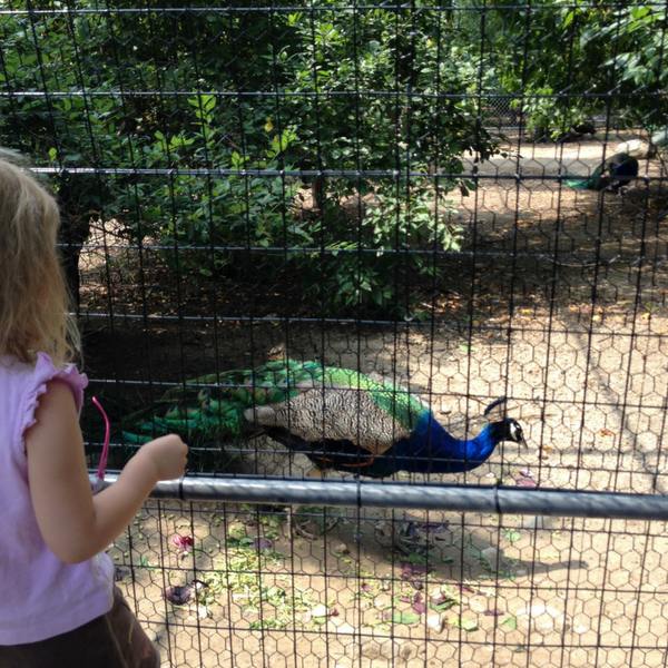 Child watching peacocks at Maine Wildlife Park